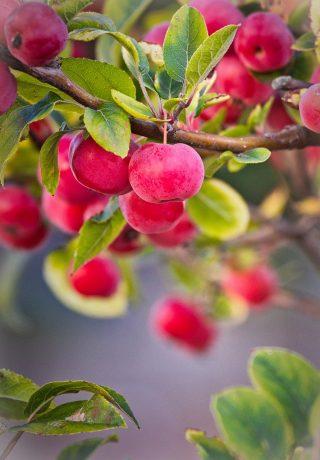 apple, zieraepfel, fruits